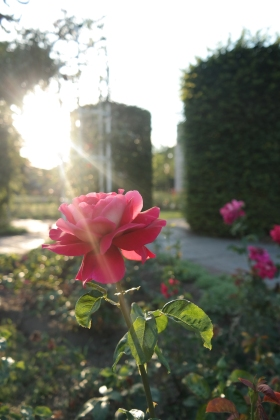 The gorgeous rose garden
