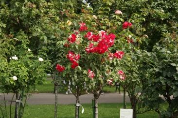 The Volksgarten roses