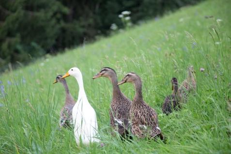 The Balmeggberg ducks (Photo by Harold Dahl)