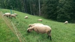 Balmeggberg sheep