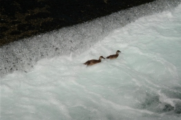 The ducklings trying to swim
