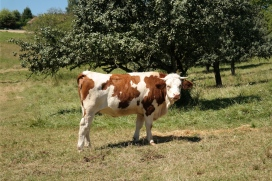 French cow!