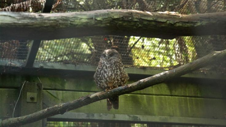 Lulu the Morepork Owl
