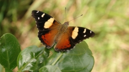 A Yellow Admiral butterfly