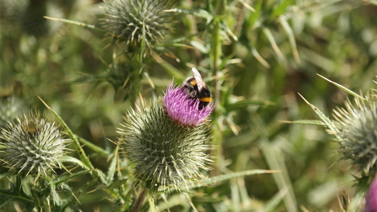 A bee on the Thistle