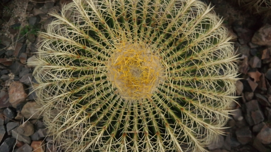 A barrel cactus on Guilfolye's Volcano