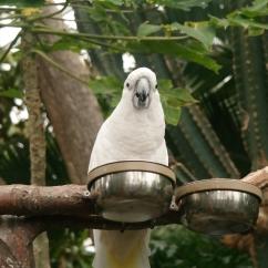 Blanca the Cockatoo