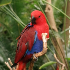 Ruby the Eclectus Parrot