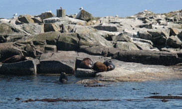 A group of Californian Sea Lions